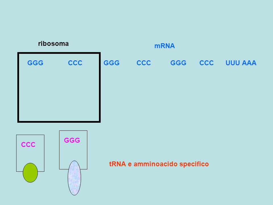 tRNA e amminoacido specifico GGG CCC GGG CCC GGG CCC UUU AAA CCC GGG