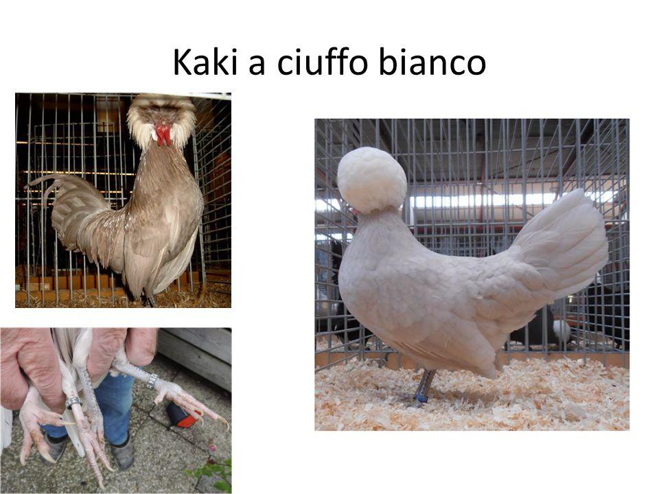 Kaki a ciuffo bianco