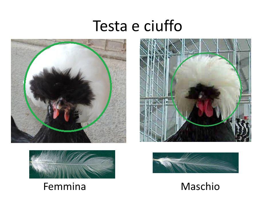 Testa e ciuffo FemminaMaschio