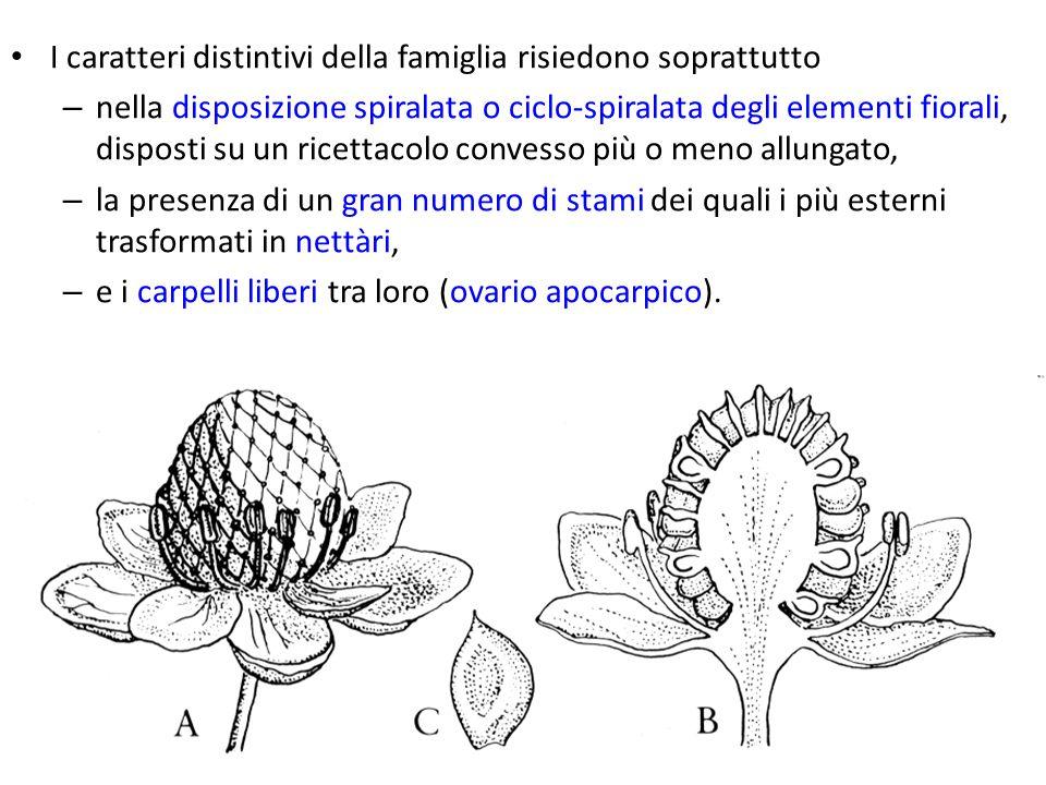 I caratteri distintivi della famiglia risiedono soprattutto – nella disposizione spiralata o ciclo-spiralata degli elementi fiorali, disposti su un ri