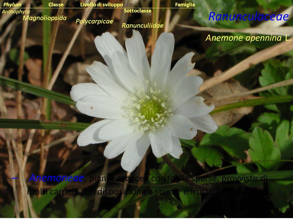 – Anemoneae, piante erbacee con foglie sparse, provviste di molti carpelli con disposizione a spirale e frutto ad achenio; Anemone apennina L. Ranuncu