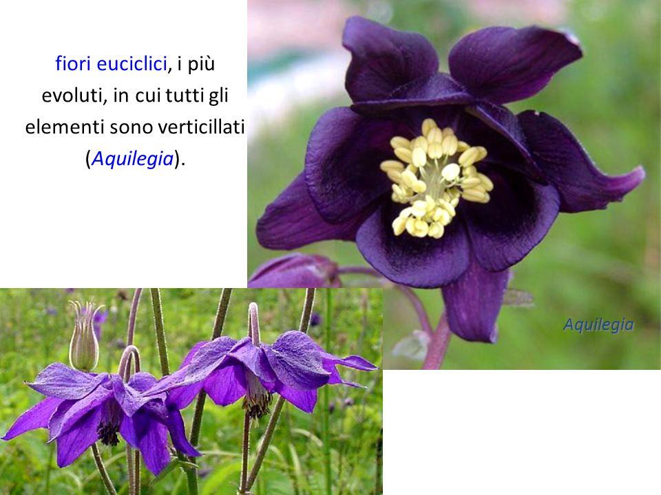 fiori euciclici, i più evoluti, in cui tutti gli elementi sono verticillati (Aquilegia). Aquilegia
