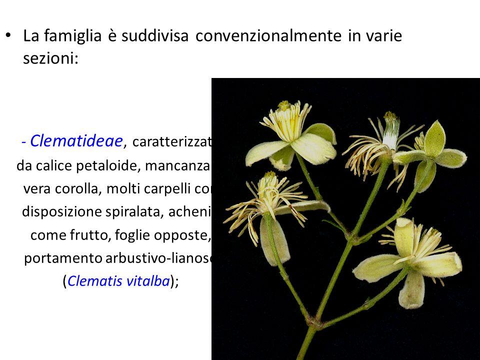 La famiglia è suddivisa convenzionalmente in varie sezioni: - Clematideae, caratterizzate da calice petaloide, mancanza di vera corolla, molti carpell