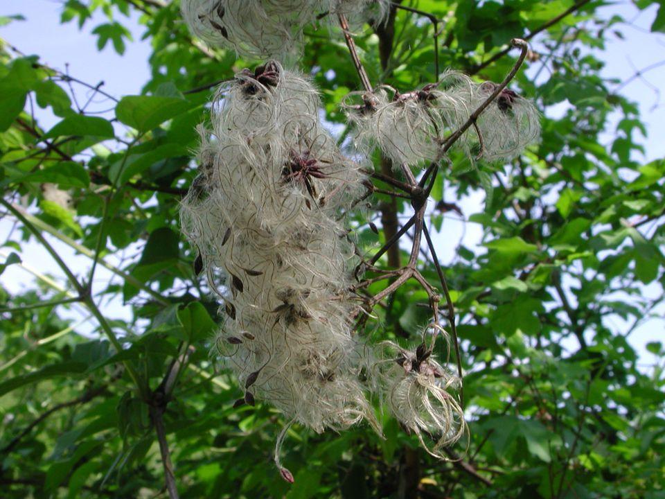 – Anemoneae, piante erbacee con foglie sparse, provviste di molti carpelli con disposizione a spirale e frutto ad achenio; Anemone apennina L.
