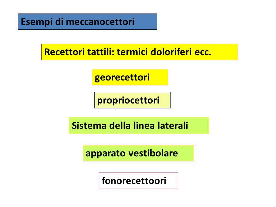 Esempi di meccanocettori georecettori propriocettori Sistema della linea laterali apparato vestibolare Recettori tattili: termici doloriferi ecc. fono