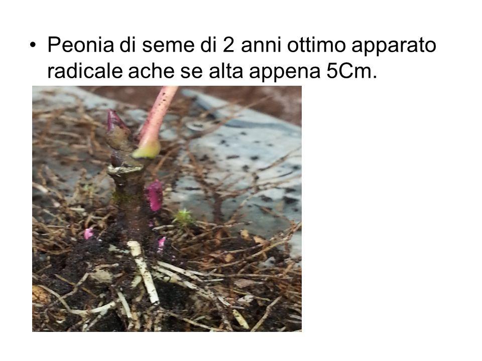 Peonia di seme di 2 anni ottimo apparato radicale ache se alta appena 5Cm.