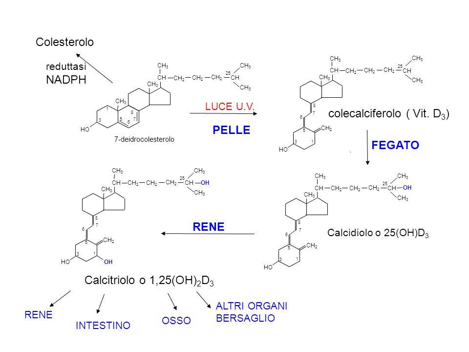 _____ VDRE _____ gene bersaglio mRNA eterodimero VDR- RXR VDR - Recettore Vit D VDRE - Vitamin D Response Elements RXR - Recettore Acido 9cis Retinoico (derivato vitamina A) 1,25 (OH) 2 D Vit D binding protein proteina CITOPLASMA Acido retinoico 1,25 (OH) 2 D RXR VDR NUCLEO VDR VDR +