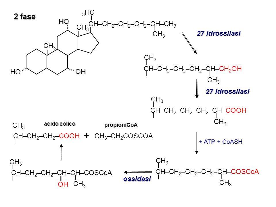 3 fase: coniugazione con la taurina o la glicina