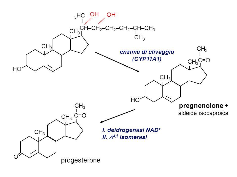 progesterone (C21) glucocorticoidi (C21) cortisolo androgeni (C19) testosterone estrogeni (C18) estradiolo 17  11  21 idrossilasi aromatasi deficit della 17  idrossilasi diminuisce livelli di cortisolo, androgeni, estrogeni con problemi sulla maturazione sessuale O CH 3 I = CH 3 I CH 3 C=O I I O = OH I HO CH 3 I CH 3 I I CH 2 OH C=O I O = CH 3 I CH 3 I OH I 17,20 liasi 17  idrossilasi (CYP17) (CYP19) CH 3 OH I I HO