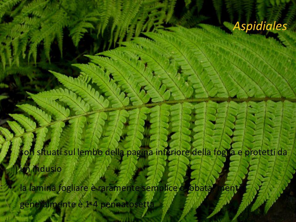 Aspidiales sori situati sul lembo della pagina inferiore della foglia e protetti da un indusio la lamina fogliare è raramente semplice o lobata, mentre generalmente è 1-4 pennatosetta