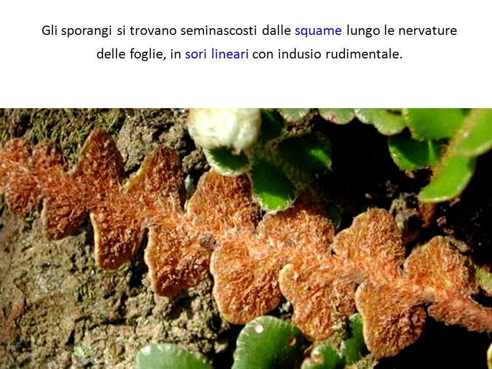 Gli sporangi si trovano seminascosti dalle squame lungo le nervature delle foglie, in sori lineari con indusio rudimentale.