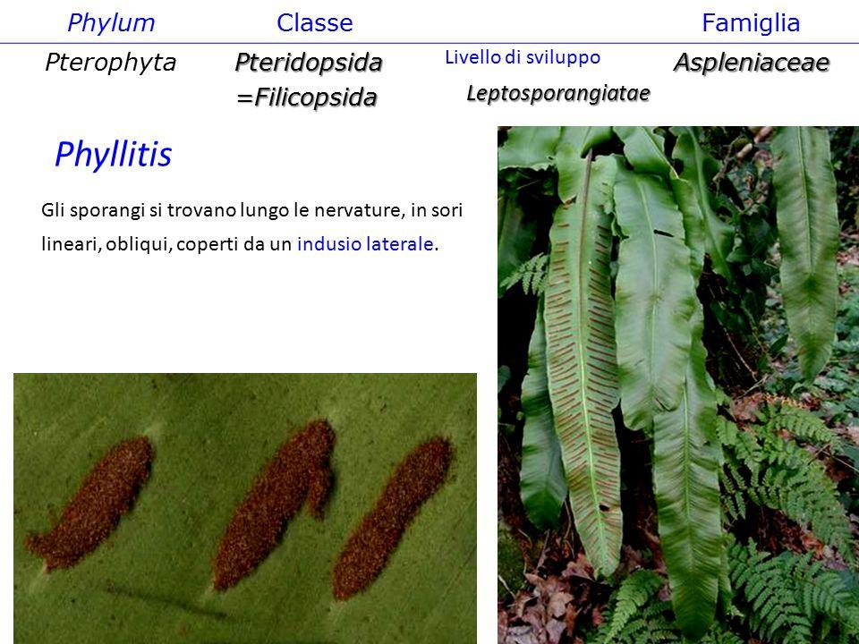 Phylum ClasseFamiglia PterophytaPteridopsida=FilicopsidaAspleniaceae Leptosporangiatae Livello di sviluppo Gli sporangi si trovano lungo le nervature delle foglie, in sori allungati protetti da un indusio laterale Asplenium