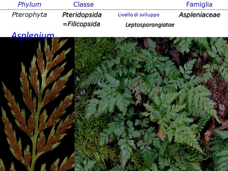 Phylum ClasseFamiglia PterophytaPteridopsida=FilicopsidaAspleniaceae Leptosporangiatae Livello di sviluppo Asplenium