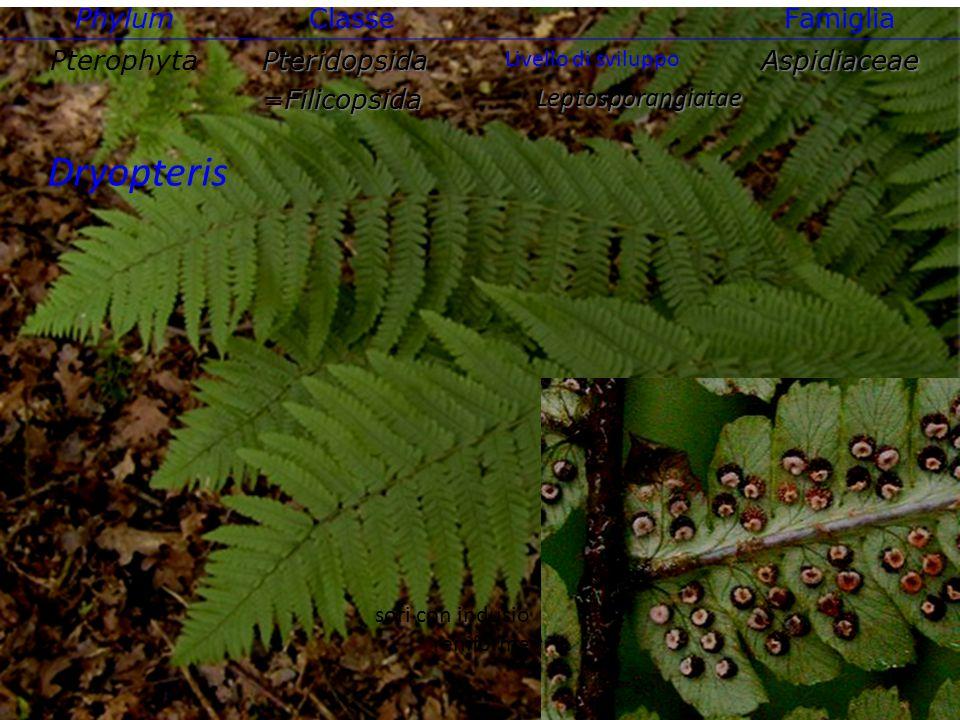 Polystichum sori con indusio peltato Phylum ClasseFamiglia PterophytaPteridopsida=FilicopsidaAspidiaceae Leptosporangiatae Livello di sviluppo