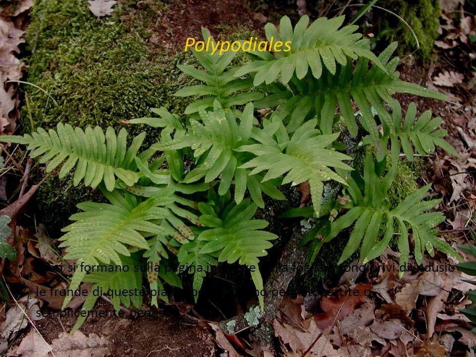 Polypodiales i sori si formano sulla pagina inferiore della foglia e sono privi di indusio le fronde di queste piante perenni sono pennatopartite o se