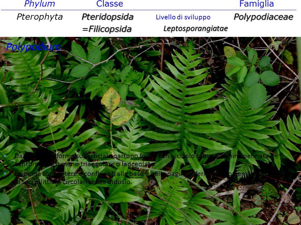 Phylum ClasseFamiglia PterophytaPteridopsida=FilicopsidaPolypodiaceae Leptosporangiatae Livello di sviluppo Dal rizoma filiforme superficiale partono
