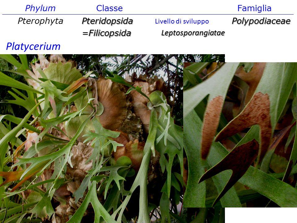 Phylum ClasseFamiglia PterophytaPteridopsida=FilicopsidaPolypodiaceae Leptosporangiatae Livello di sviluppo Platycerium