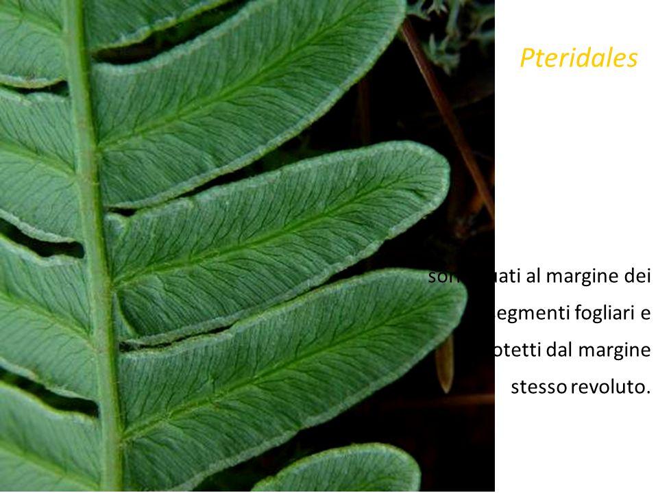 Phylum ClasseFamiglia PterophytaPteridopsida=FilicopsidaAdiantaceae Leptosporangiatae Livello di sviluppo Adiantum