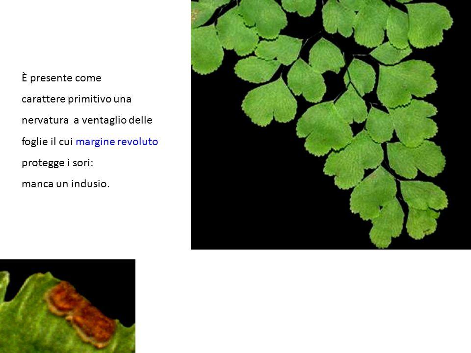 È presente come carattere primitivo una nervatura a ventaglio delle foglie il cui margine revoluto protegge i sori: manca un indusio.