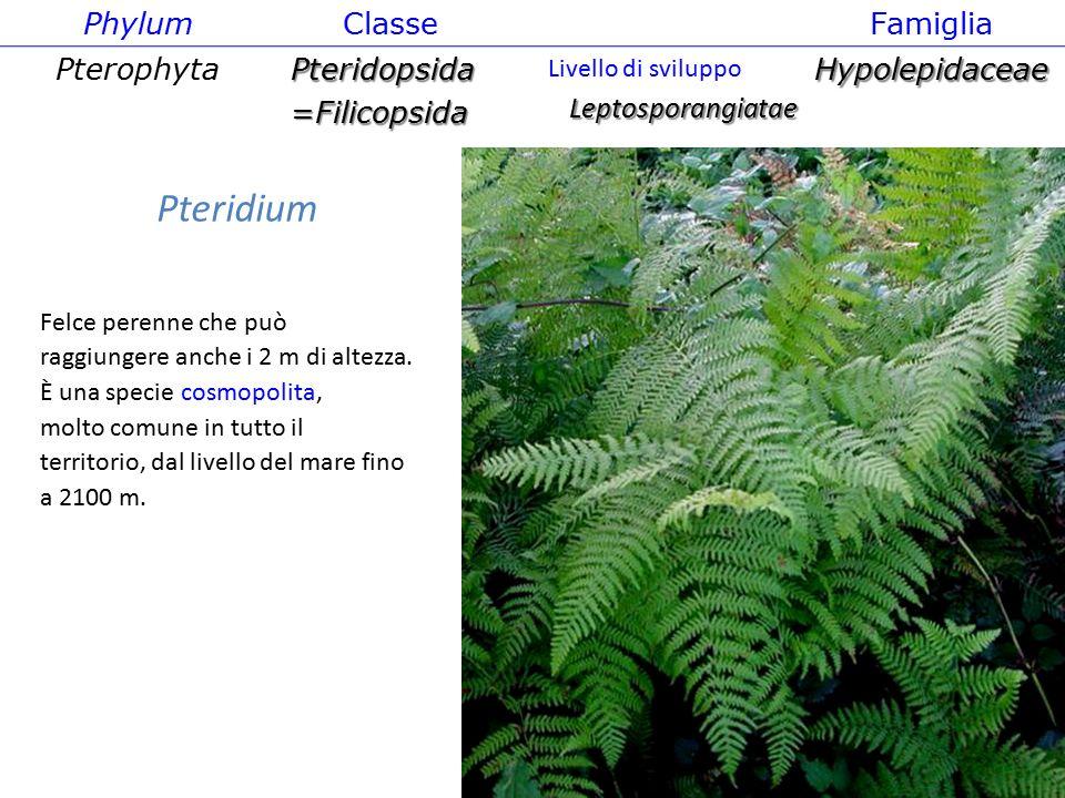 Pteridium Felce perenne che può raggiungere anche i 2 m di altezza. È una specie cosmopolita, molto comune in tutto il territorio, dal livello del mar