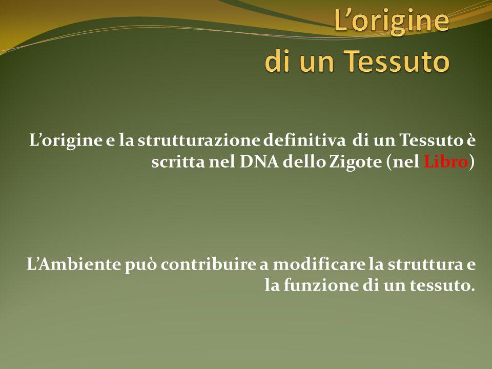 L'origine e la strutturazione definitiva di un Tessuto è scritta nel DNA dello Zigote (nel Libro) L'Ambiente può contribuire a modificare la struttura