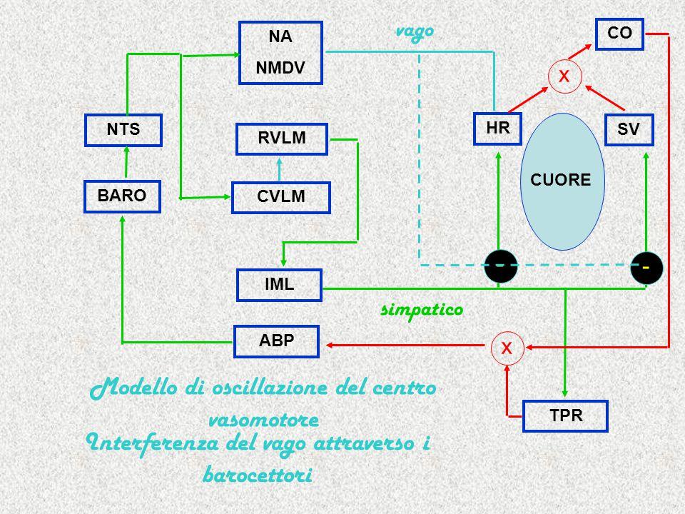 RVLM IML HR SV TPR CUORE simpatico NA NMDV NTS x CO BARO ABP x CVLM vago Modello di oscillazione del centro vasomotore Interferenza del vago attraverso i barocettori - -