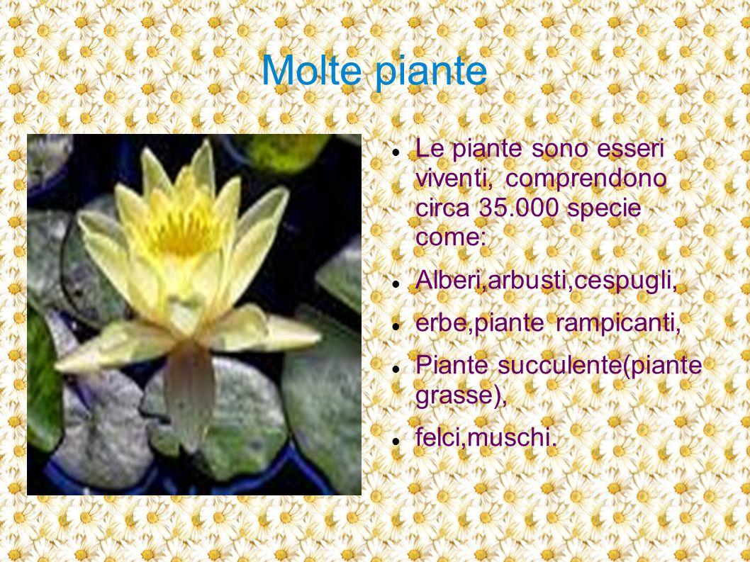 Molte piante Le piante sono esseri viventi, comprendono circa 35.000 specie come: Alberi,arbusti,cespugli, erbe,piante rampicanti, Piante succulente(p