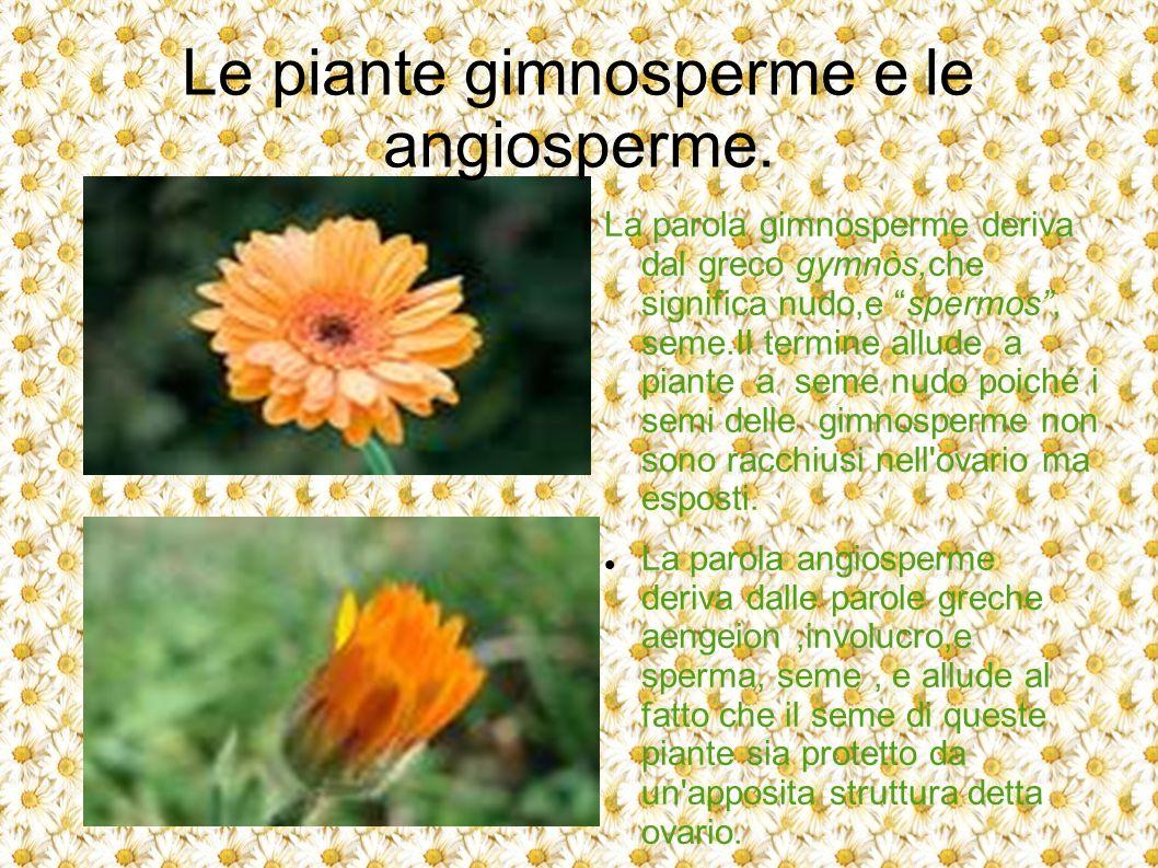 """Le piante gimnosperme e le angiosperme. La parola gimnosperme deriva dal greco gymnòs,che significa nudo,e """"spermos"""", seme.Il termine allude a piante"""
