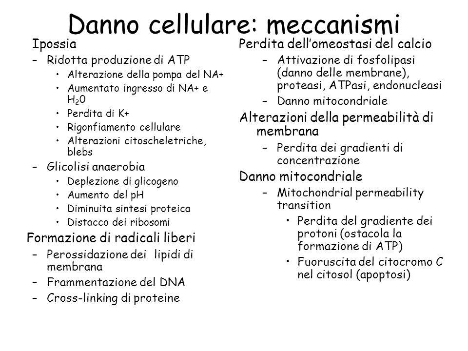 Tipi di Necrosi Coagulativa (denaturazione proteica) Colliquativa (digestione enzimatica) Steatonecrosi Caseosa