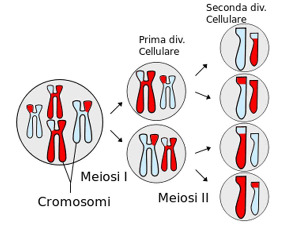 Nel grafico precedente è possibile vedere come da un corredo cromosomico diploide si originano quattro cellule con corredo cromosomico aploide.