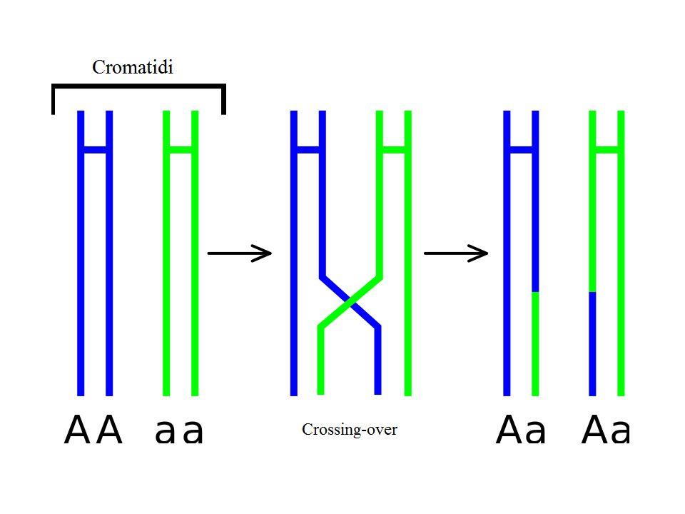 In sintesi, nella prima divisione meiotica si evidenziano i cromosomi, ciascuno costituito da due cromatidi.