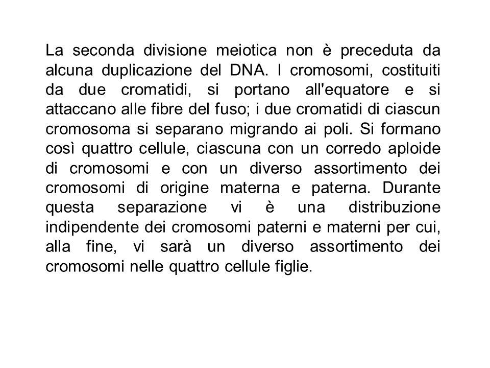 La seconda divisione meiotica non è preceduta da alcuna duplicazione del DNA. I cromosomi, costituiti da due cromatidi, si portano all'equatore e si a