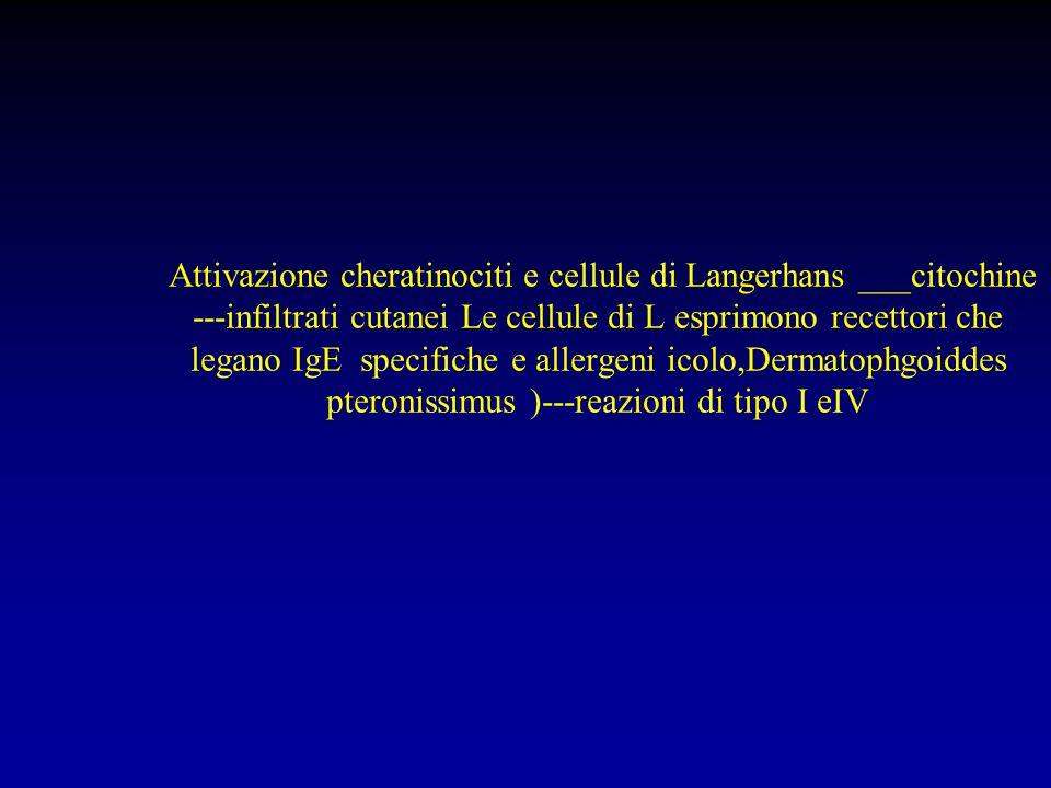 Attivazione cheratinociti e cellule di Langerhans ___citochine ---infiltrati cutanei Le cellule di L esprimono recettori che legano IgE specifiche e a