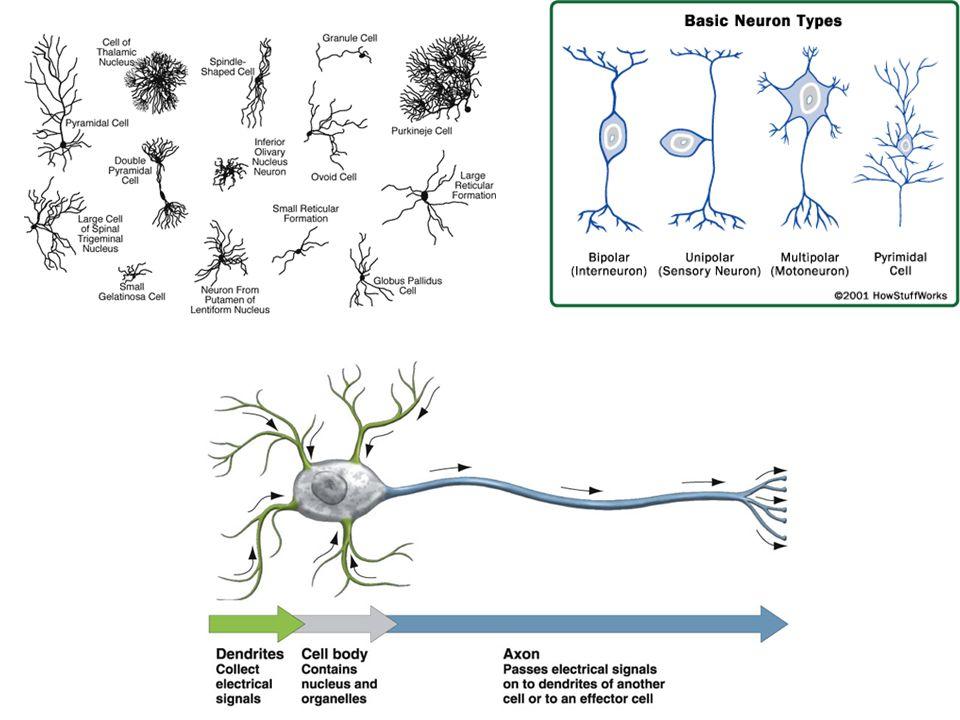 Quali fattori inducono la direzione della crescita dei neuriti e quali determinano il loro fato