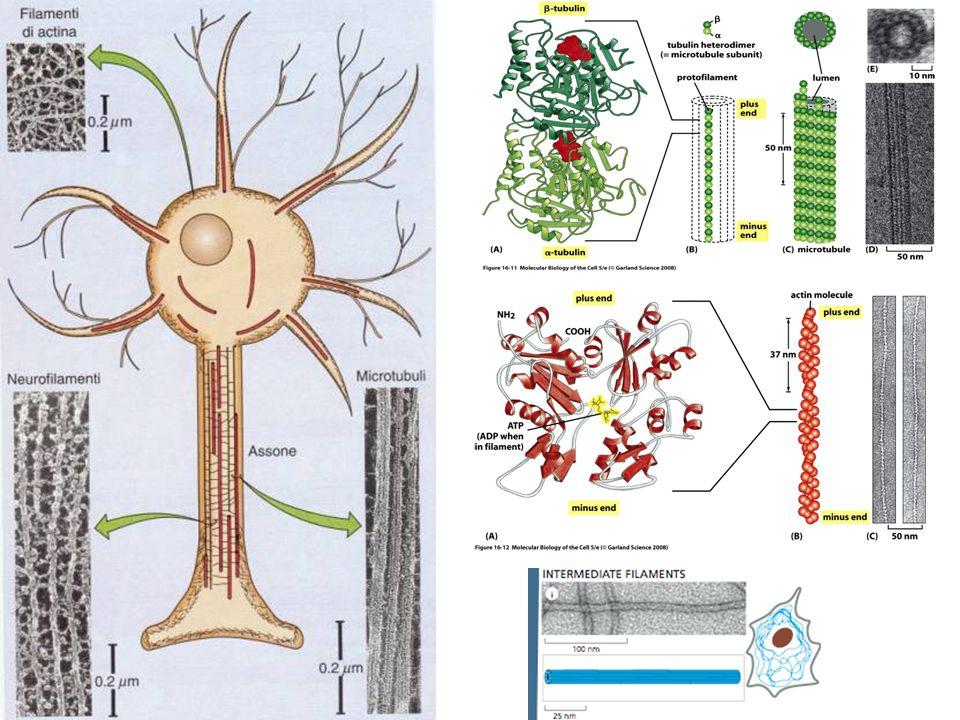 Arimura and Kaibuchi Nature Reviews Neuroscience 8, 194–205 (March 2007) | doi:10.1038/nrn2056