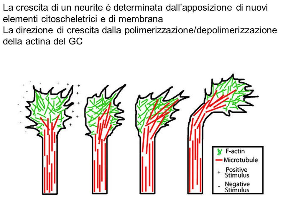 La crescita di un neurite è determinata dall'apposizione di nuovi elementi citoscheletrici e di membrana La direzione di crescita dalla polimerizzazione/depolimerizzazione della actina del GC