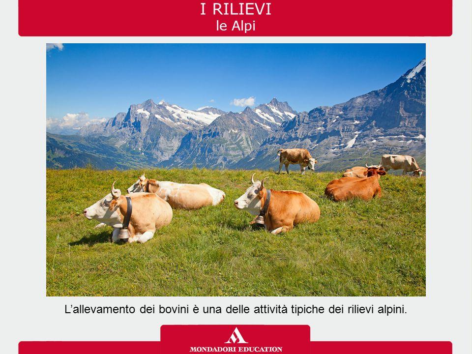 L'allevamento dei bovini è una delle attività tipiche dei rilievi alpini. I RILIEVI le Alpi