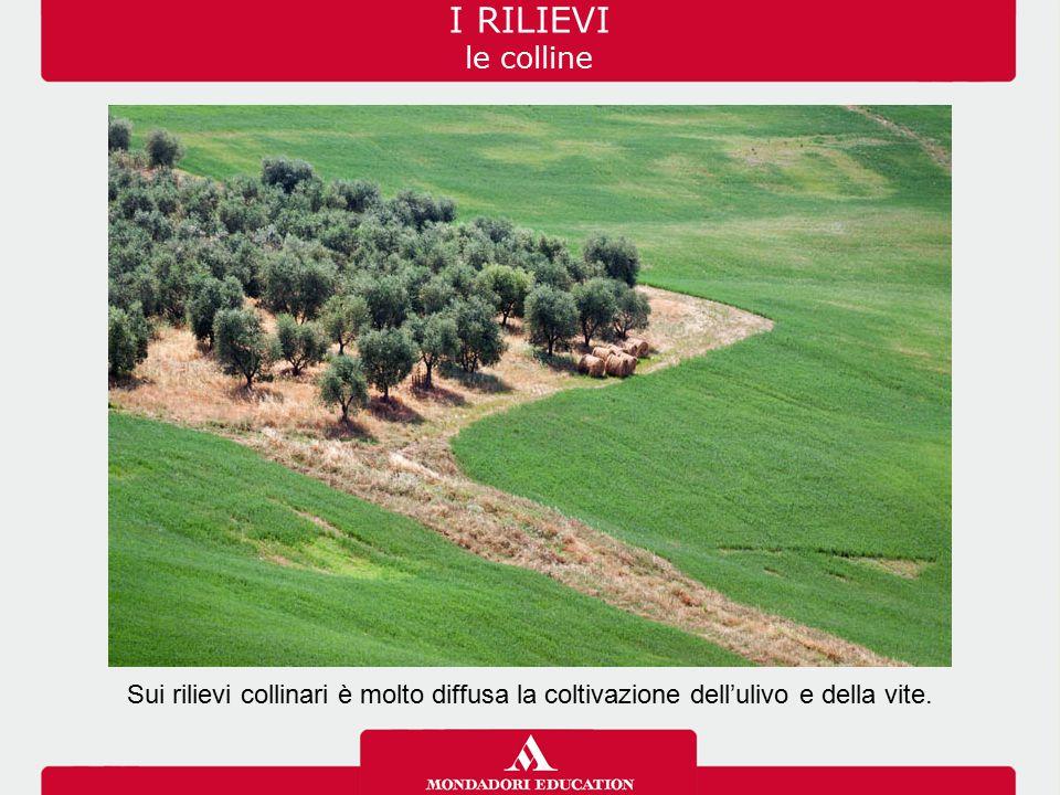 Sui rilievi collinari è molto diffusa la coltivazione dell'ulivo e della vite. I RILIEVI le colline
