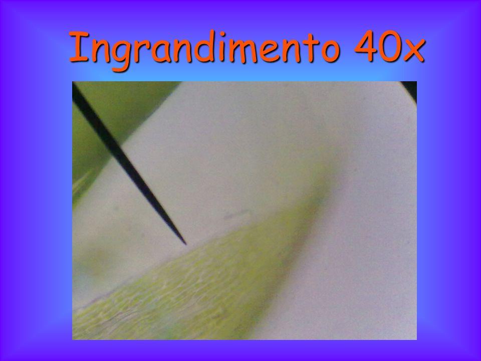 Conclusioni: con l'ingrandimento 4x si possono vedere le foglie di muschio leggermente ingrandite; con l'ingrandimento 10x si può notare una foglia e i suoi filamenti; con l'ingrandimento 40x si osservano le cellule della foglia del muschio.