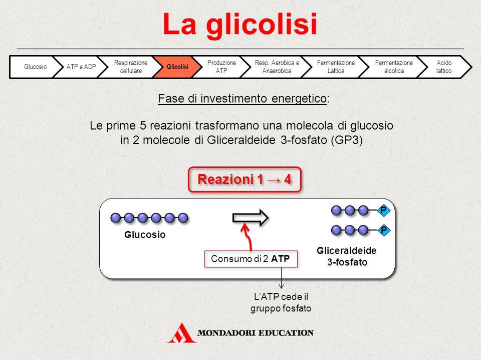 La glicolisi Le prime 5 reazioni trasformano una molecola di glucosio in 2 molecole di Gliceraldeide 3-fosfato (GP3) Fase di investimento energetico: