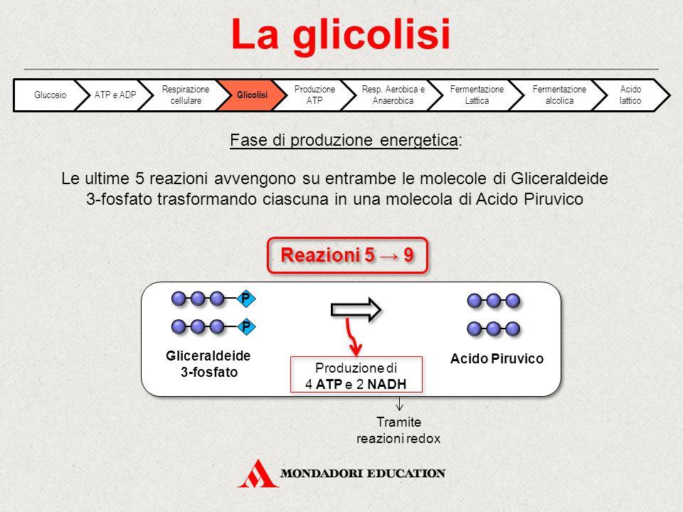 La glicolisi Le ultime 5 reazioni avvengono su entrambe le molecole di Gliceraldeide 3-fosfato trasformando ciascuna in una molecola di Acido Piruvico
