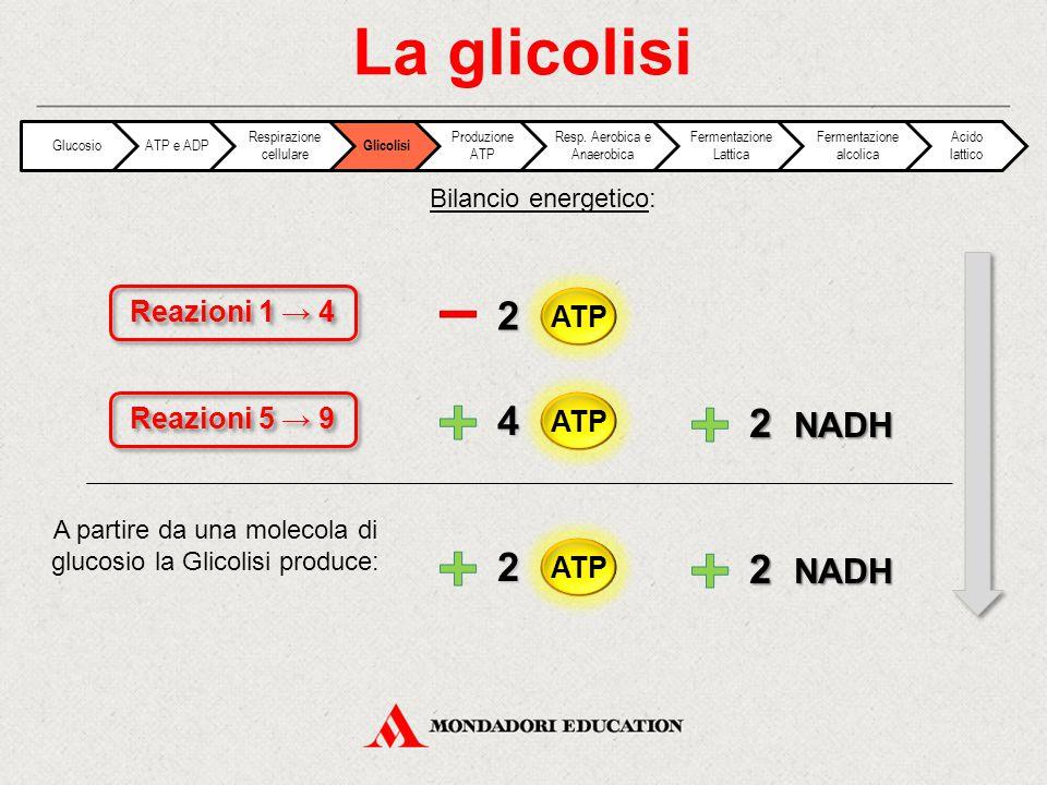 Bilancio energetico: La glicolisi Reazioni 5 → 9 Reazioni 1 → 4 2 4 2 NADH 2 A partire da una molecola di glucosio la Glicolisi produce: GlucosioATP e