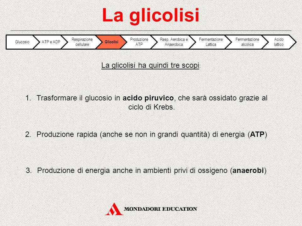 1.Trasformare il glucosio in acido piruvico, che sarà ossidato grazie al ciclo di Krebs. 2.Produzione rapida (anche se non in grandi quantità) di ener