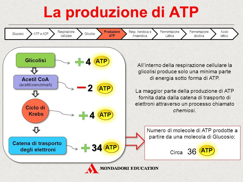 La produzione di ATP All'interno della respirazione cellulare la glicolisi produce solo una minima parte di energia sotto forma di ATP. La maggior par