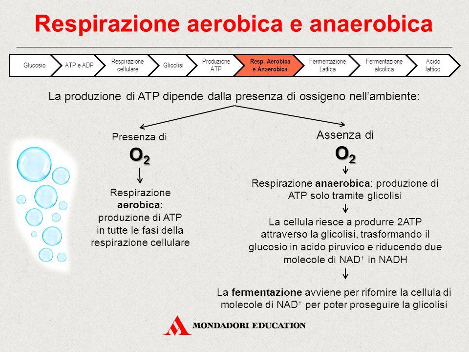 La produzione di ATP dipende dalla presenza di ossigeno nell'ambiente: Respirazione aerobica e anaerobica O 2 Presenza di O 2 O 2 Assenza di O 2 Respi