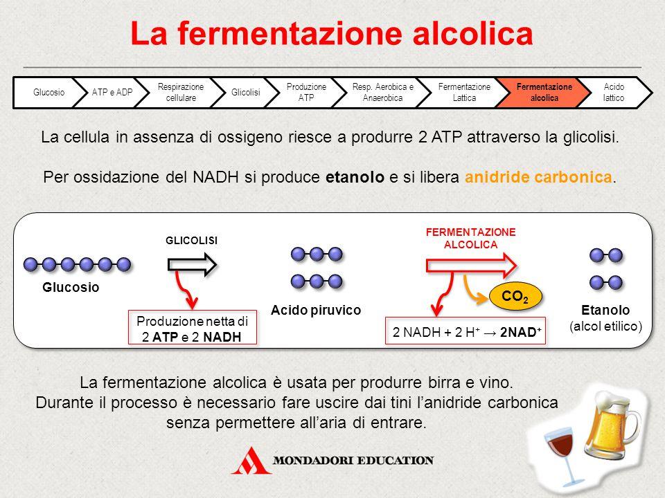 La cellula in assenza di ossigeno riesce a produrre 2 ATP attraverso la glicolisi. Per ossidazione del NADH si produce etanolo e si libera anidride ca
