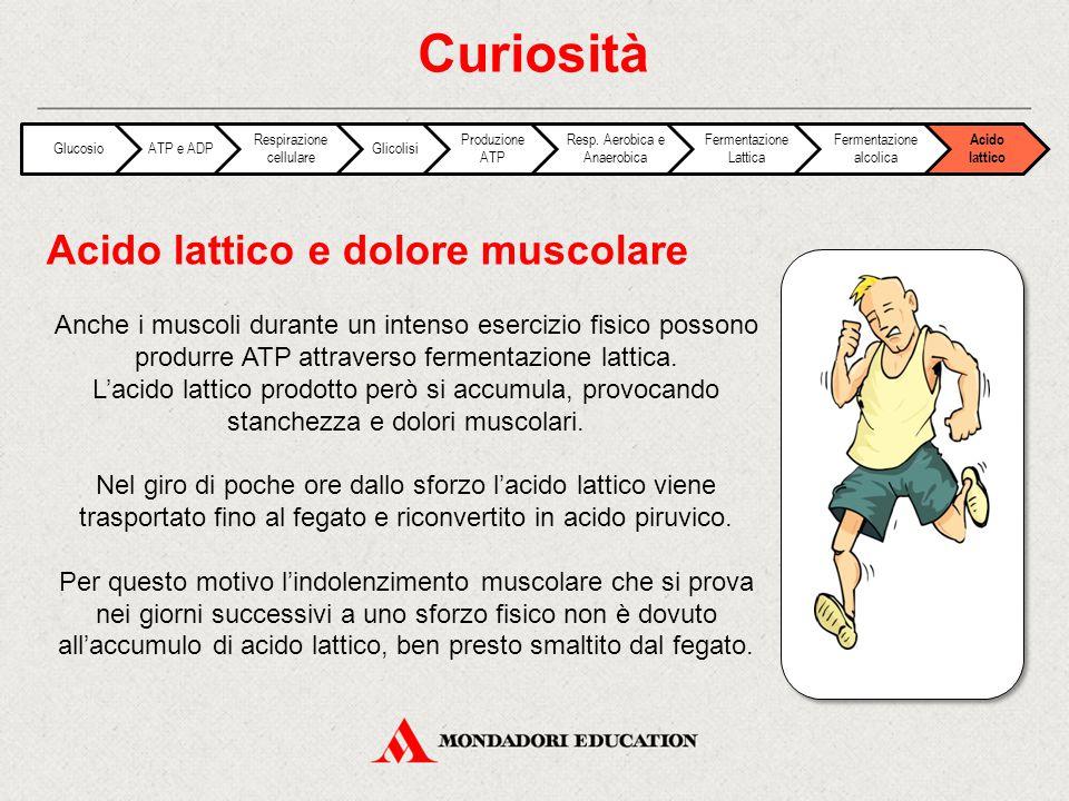 Anche i muscoli durante un intenso esercizio fisico possono produrre ATP attraverso fermentazione lattica. L'acido lattico prodotto però si accumula,
