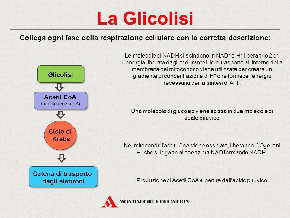 La Glicolisi Collega ogni fase della respirazione cellulare con la corretta descrizione: Una molecola di glucosio viene scissa in due molecole di acid