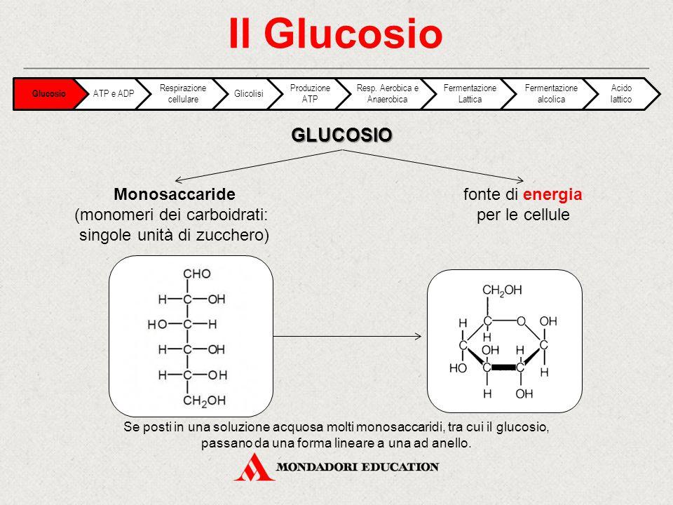 FRUTTOSIO Il Glucosio Monosaccaridestessa formula grezza del glucosio: Glucosio e fruttosio sono isomeri C 6 H 12 O 6 Proprietà diverse date dalla diversa disposizione degli atomi Glucosio ATP e ADP Respirazione cellulare Glicolisi Produzione ATP Resp.