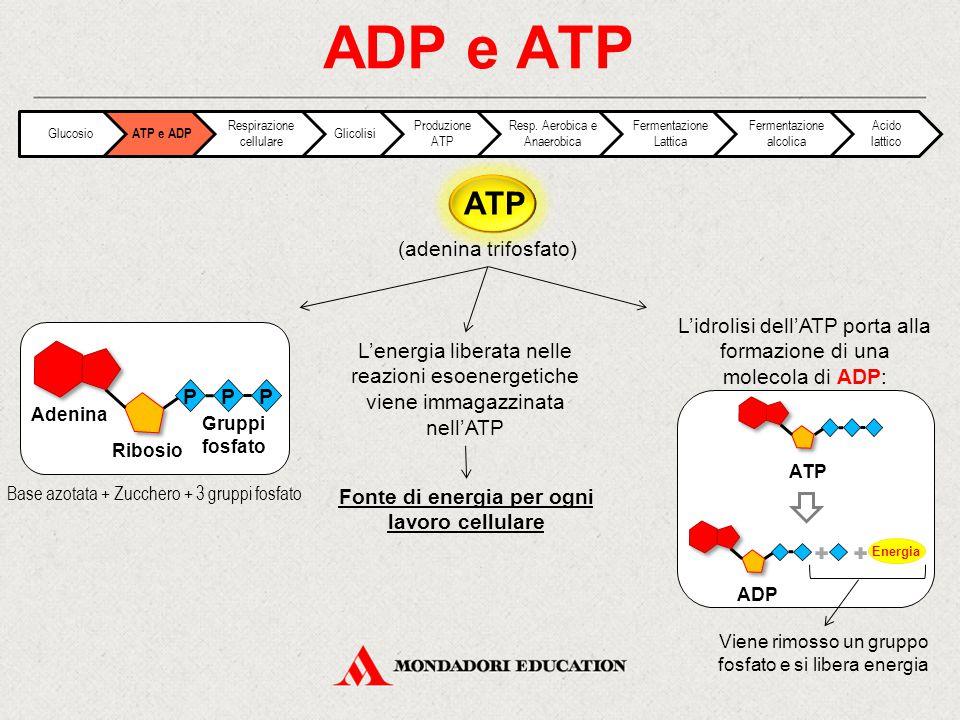 (adenina trifosfato) ADP e ATP Base azotata + Zucchero + 3 gruppi fosfato L'energia liberata nelle reazioni esoenergetiche viene immagazzinata nell'AT